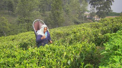 Collects tea in a traditional way - manually. Nuwara Eliya. Sri Lanka Footage