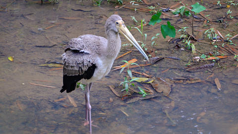 Juvenile Yellow Billed Stork at a Popular Bird Park Live Action