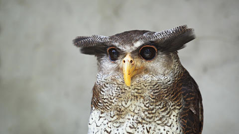Portrait of Barred eagle-owl (Bubo sumatranus). also called Malay eagle-owl Footage
