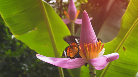 Pair of Butterflies Feeding on a Banana Flower. UHD 4k video Footage