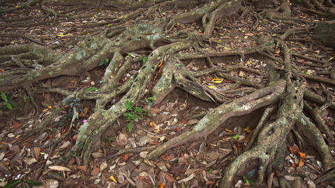 Sri Lanka. Old tropical Ficus tree roots close up Footage