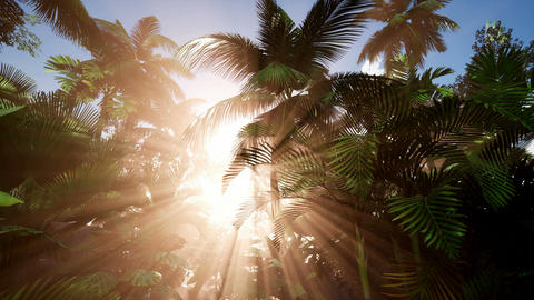 4k Tropical sunset. Palm tree at sunset sky. Silhouette of palm leaves Footage