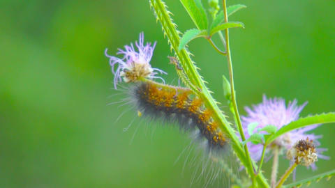 Butterfly Caterpillar Stock Video Footage
