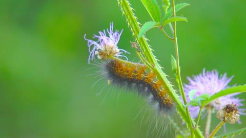 Butterfly Caterpillar Stock Video Footage
