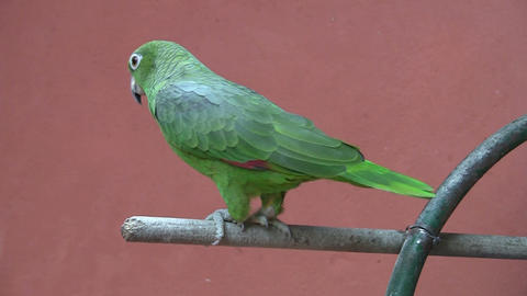 Parrot red background 02 Stock Video Footage