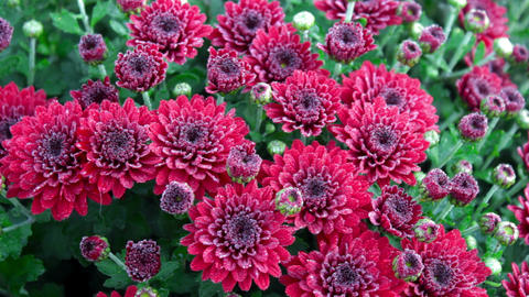 Flowerbed of purple chrysanthemums Stock Video Footage
