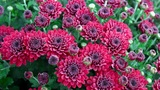 Flowerbed of purple chrysanthemums Footage