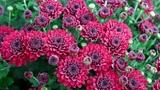 Flowerbed of purple chrysanthemums Footage