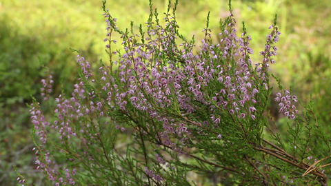 evergreen heather blooming Footage