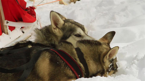 Husky dogs eat snow to cool down after a hard day Footage