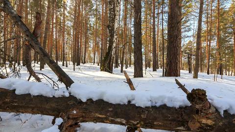 Sunny winter forest. Snag. Slider. Zoom. TimeLapse Footage