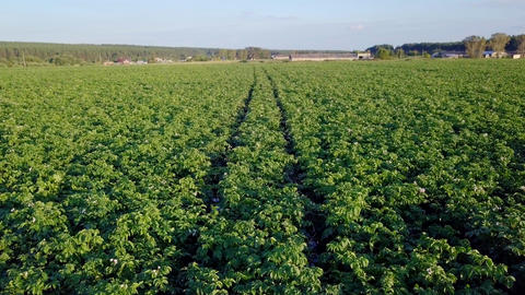 Flying over the potato field, entering the panorama, From Dron Footage