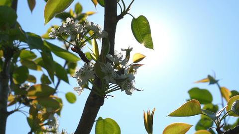 Sun shining through blossom apple flowers in springtime Footage