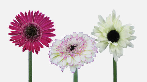 Time-lapse of opening gerbera flowers with ALPHA channel, 4K Footage