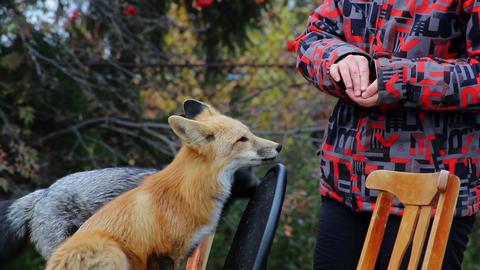 Domesticated foxes Archivo