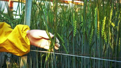 Phytopathologist Examines Barley Leaf ビデオ