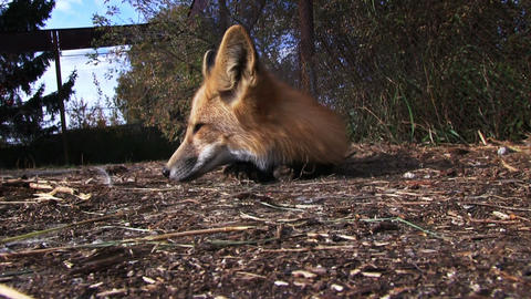 Red Fox Footage