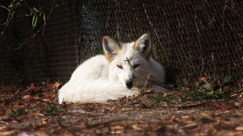 White Fox Footage