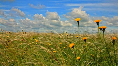 feather grass with yellow meadow flowers and blue sky with cumulus clouds Bild