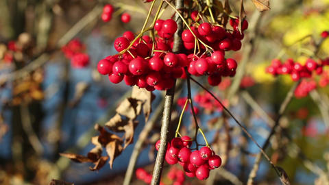 bunch berry of bright red mountain ash ビデオ