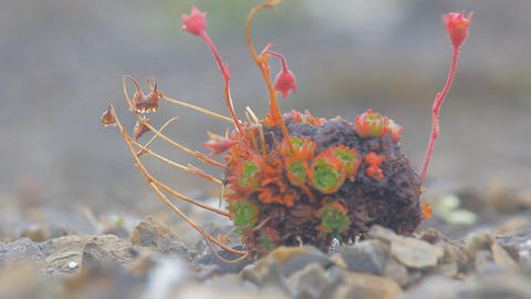 Amazing Arctic Desert Plants. Novaya Zemlya Archipelago stock footage