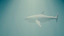 Great White Shark in the Ocean Side View 2 slight film noise Animation