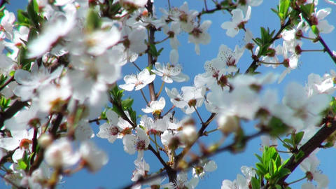 flowers cherry tree, flowers cherry tree, focus to the foreground Footage