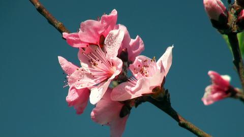flowers cherry tree Footage