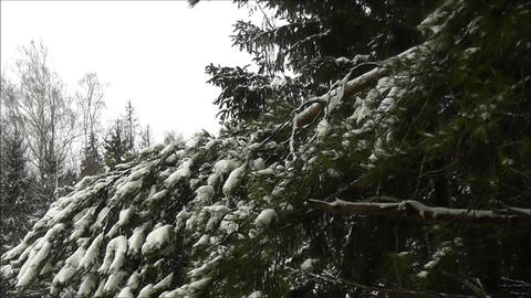 Pine Branch In Winter stock footage