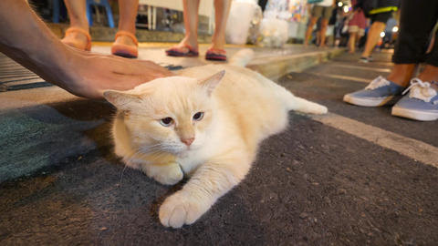 Male Hand Stroking Huge Fat Fluffy Japanese Kawaii Cat at Night Market Street in Footage