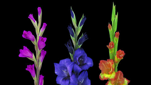 Time-lapse of opening gladiolus flowers in RGB + ALPHA matte format Footage