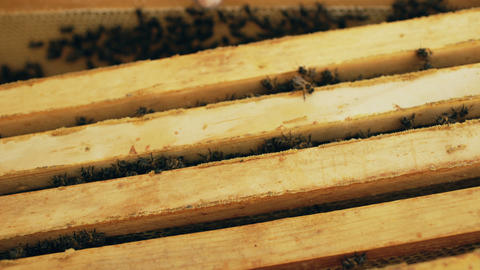Closeup of bees in honey wooden frames at beehive in apiary Filmmaterial