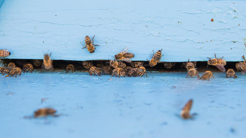 Closeup timelapse of bees flying into beehive entrance on summer day Footage