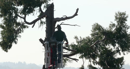 Woodcutter Top Branch Cut Thuja Footage