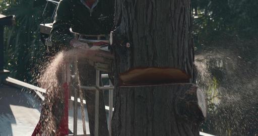 Woodcutter Trunk Cut Thuja Footage