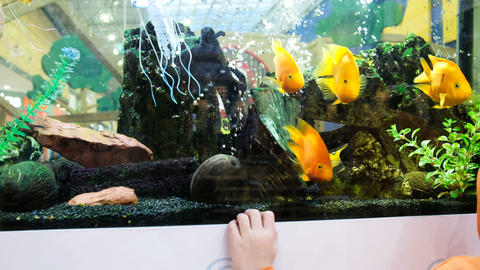 The child is looking at the yellow fish in the aquarium in the store, 4k Footage