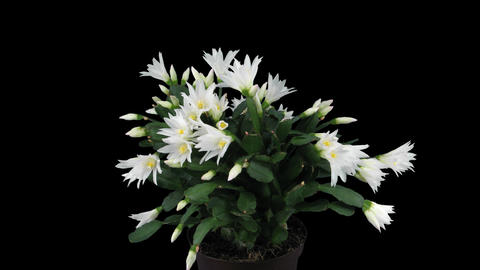 Growing and rotating white Easter cactus with ALPHA channel Footage