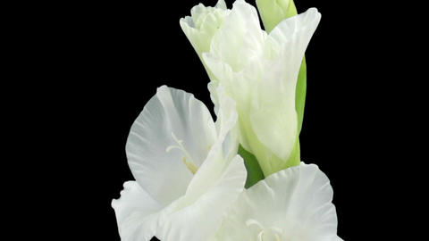Time-lapse of opening white gladiolus flower in RGB + ALPHA matte format Footage