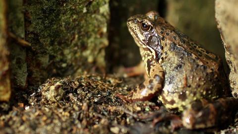 A big frog hides Footage