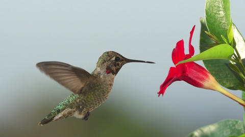 Hummingbird Feeding Slow Motion Footage