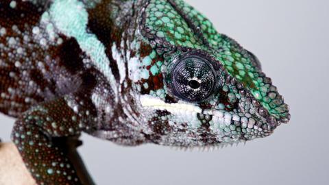 Chameleon Head Macro Footage
