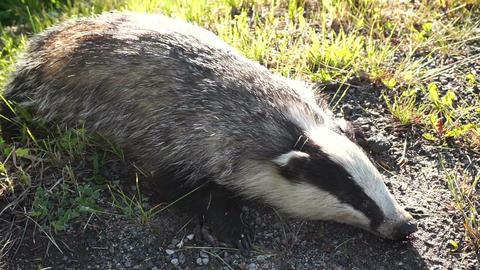 Dead badger. Meles meles