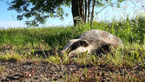 Dead badger. Meles meles Footage