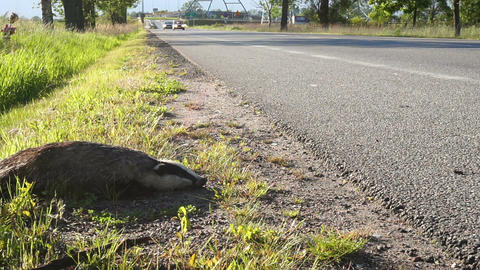Dead Badger By Side Of Road 02 Stock Video Footage