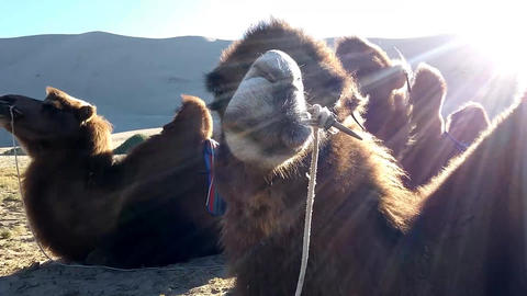 Camel in the Gobi Footage