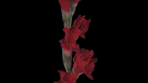 Time-lapse of opening red gladiolus flower, 4K with ALPHA channel Footage