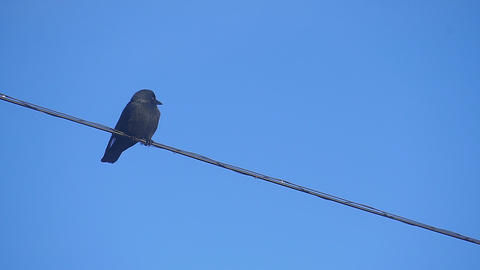 Jackdaw sitting on a wire Footage