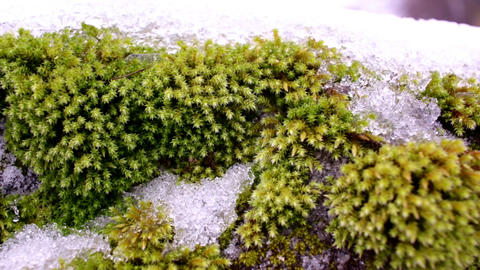 Ciliate hedwigia moss with snow Live Action