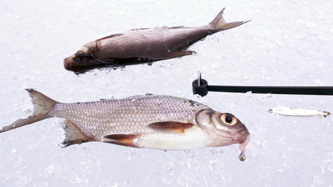 White bream on ice with ice fishing rod Live Action