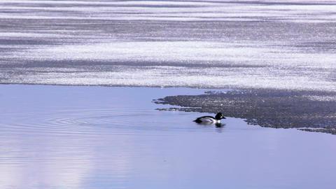 Goldeneye waterbird diving at melting lake Footage